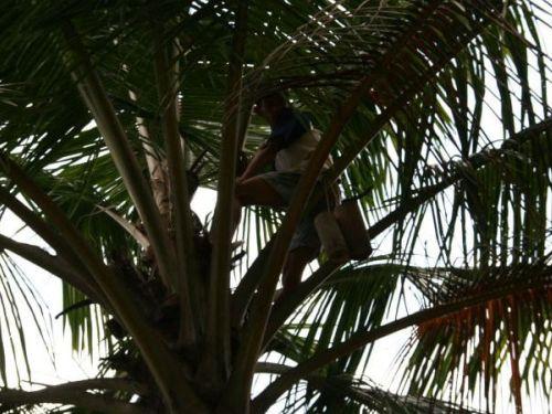 Javanesischer Bauer steigt auf Kokospalme 500x375 1